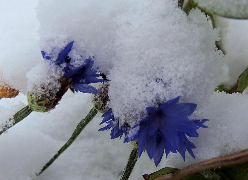 Buried Cornflower