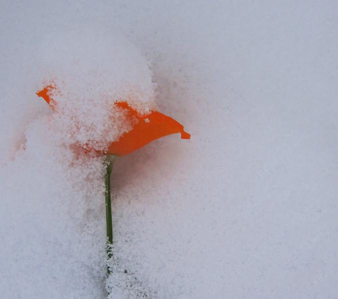 Cold Poppy