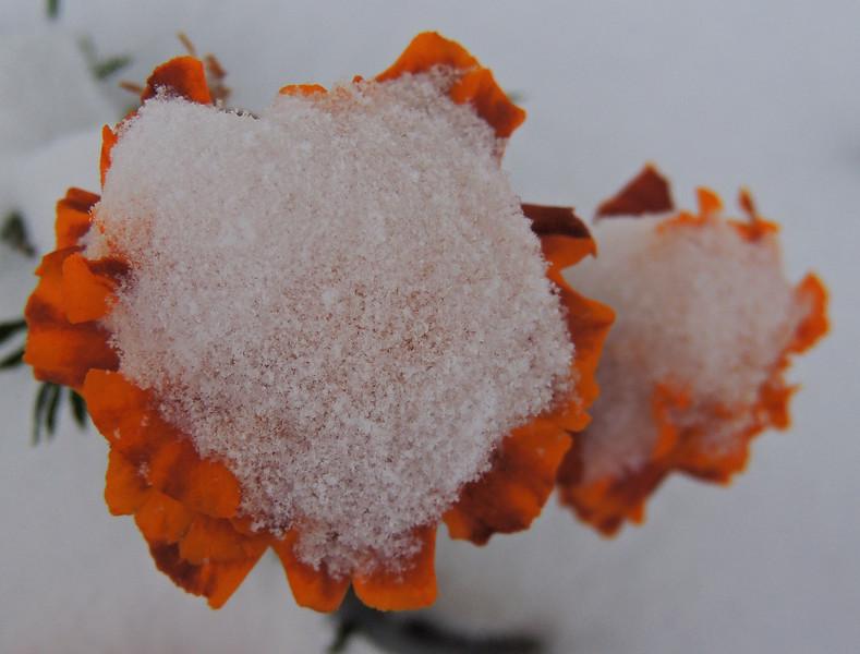 Icy Marigold