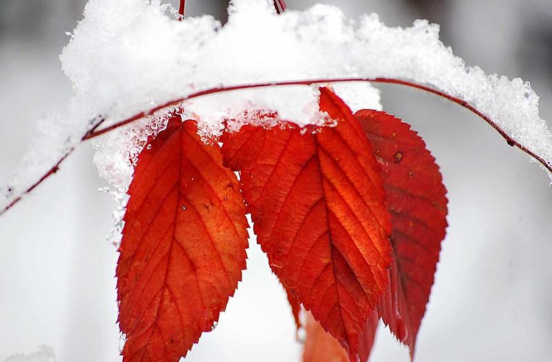 Leaves-Snow-5180-C