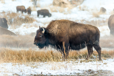 Bison in Mammoth Hot Springs, Yellowstone NP