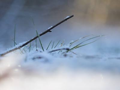 Grass blades in snow