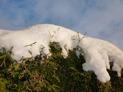 Snow on the hedgerow