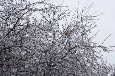Poor robin eyeing the berries encased with ice.  Fortunately that ice was gone within 24 hours.