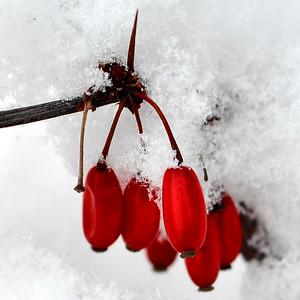 DSC_2665_Snowberry_resize