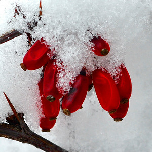 DSC_2633_snowberry_resize