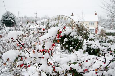 Winter berries in snow background