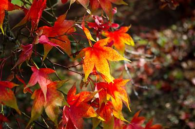 Acer palmatum osakazuki leaves