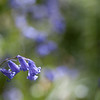 Bluebell background