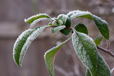 Quince leaves in frost