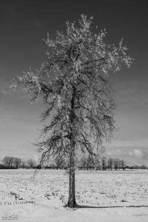 Ice Storm Tree