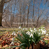 Snowdrops in Woods