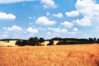Golden cornfields in summer