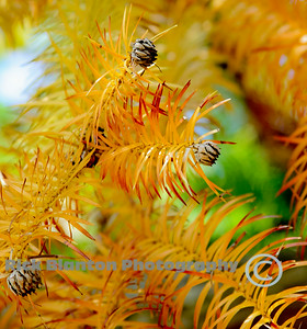Yellow pine  leaves