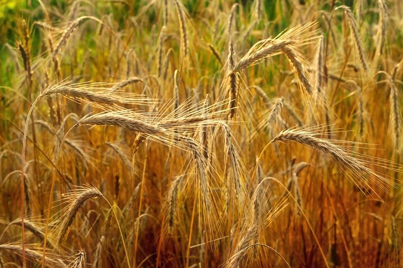 Slightly Wheat - HWY 704