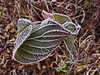 This particular frost favored long rectangular, and somewhat granular needles that tended to form at sharp angles to the surface they were attached to.  You can see that clearly here, as well as in other shots.<br /> <br /> Curled red osier leaves.<br /> <br /> Fog frost in December; <br /> Eugene, Oregon wetlands.