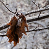 Oak leaves huddled against the cold and snow.<br /> <br /> December 2010