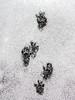 Squirrel Tracks in Light Snow
