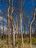 D321-2014  bare tree trunks<br /> <br /> Gallup Park,, Ann Arbor<br /> November 17, 2014