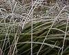 Does anyone know whether the plants in the picture with the dangling seedhead are a grass, or a rush, or a sedge?  They are growing in a small wetland in west Eugene, Oregon, and the picture was taken in late December.<br /> <br /> Fog frost in December; <br /> Eugene, Oregon wetlands.