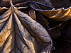 Puckered and pleated.<br /> Dried, and frosted, sycamore leaf.