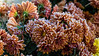 Crystallized - Hoar Frost on Chrysanthemums (sc 2017-11-22)