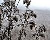Frosty thistles against the morning sky.<br /> <br /> Fog frost in December; <br /> Eugene, Oregon wetlands.
