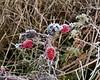Hip, hip, hooray!<br /> <br /> Rose hips on a wild rose.<br /> <br /> Fog frost in December; <br /> Eugene, Oregon wetlands.