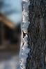 Backlit 'eroded' snow streak on tree trunk