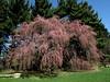 Higan cherry (pendulous or weeping type).  Just beginning to bloom along the Dow Prairie, Nichols Arboretum.<br /> <br /> April 5, 2010.