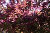 Pink on pink.<br /> <br /> Crab apple trees in full bloom.<br /> April 22, 2010.