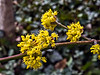 D108-2013 Cornelian Cherry, Cornus mas<br /> These were on specimens that were pruned as small trees rather than bushy shrubs.<br /> <br /> East side of the Michigan League<br /> University of Michigan, Ann Arbor<br /> April 18, 2013