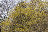 D105-2013 Cornelian cherry, Cornus mas.<br /> The blossoms were just beginning to open.  Most were still in bud.<br /> .<br /> Ann Arbor, Michigan<br /> April 15, 2013