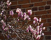 D119-2014  Saucer magnolia, with buds just beginning to open.<br /> <br /> Forest Hill Cemetery, Ann Arbor, Michigan<br /> April 29, 2014