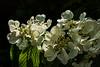 D140-2015  Viburnum blooms, slightly back lit.<br /> <br /> Matthaei Botanical Gardens, Ann Arbor<br /> May 20, 2015