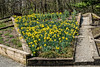 Photomerge of daffodil bed, Perennial Garden, County Farm Park