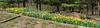 Daffodil bed, Perennial Garden, County Farm Park