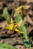 D115-2017<br /> Trout Lily, Erythronium americanum<br /> <br /> Britton Woods, County Farm Park, Ann Arbor<br /> Taken April 25, 2017
