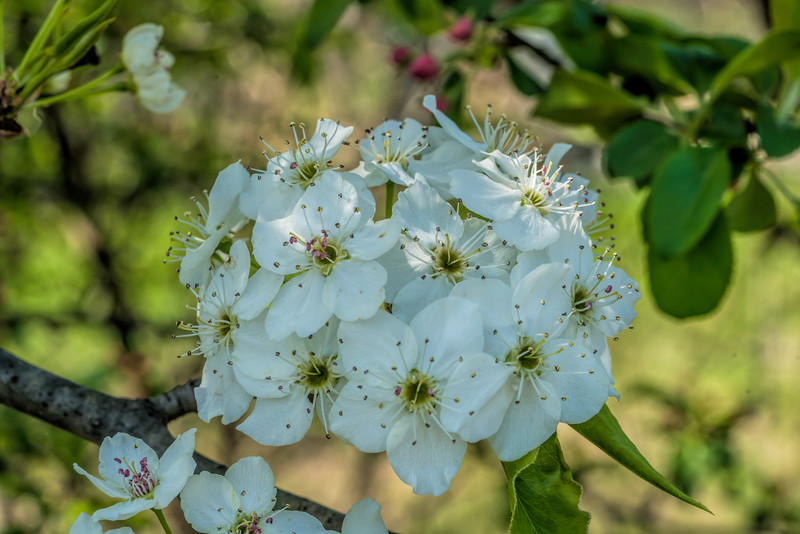 Savoring the Details - Ornamental pear tree blooms