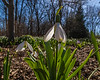 Snowdrops, or galanthus