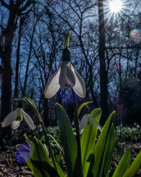 Snowdrops bathed in 'starlight'