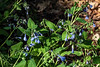 Virginia bluebells, Mertensia