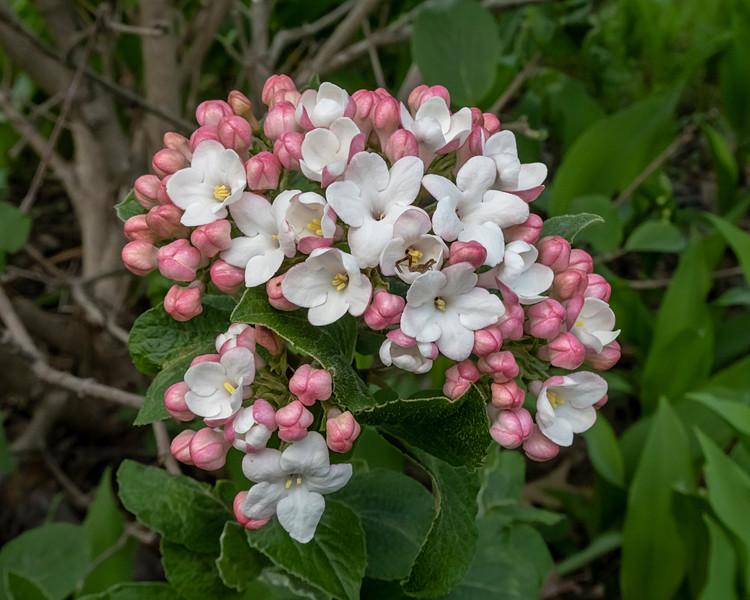 Viburnum buds beginning to open