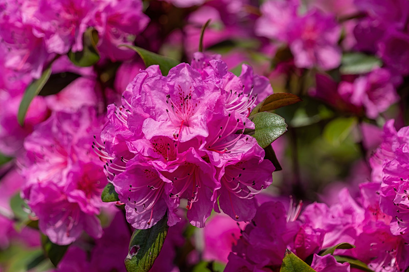 Early blooming rhododendron