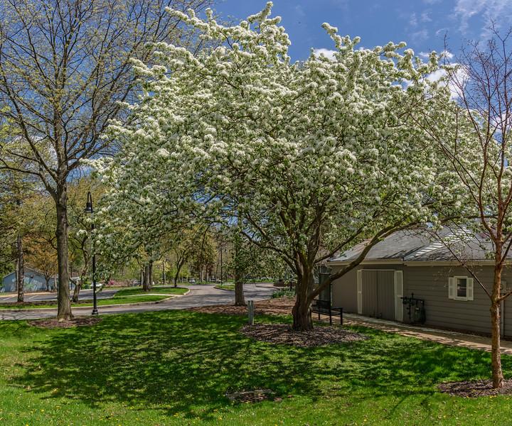 Apple (?) tree in bloom