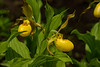 Yellow Lady's Slipper orchid, native wildflower
