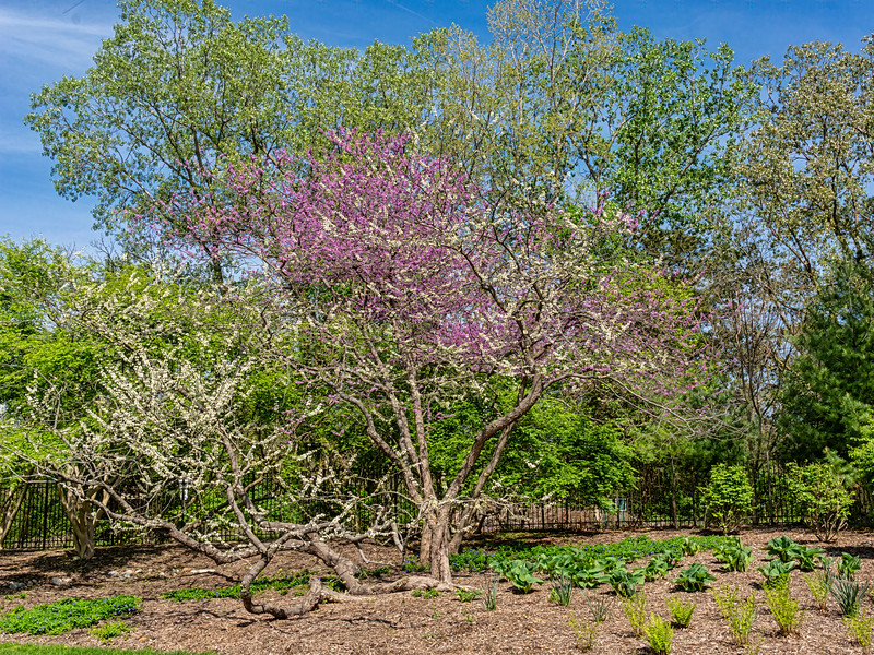 White red bud tree and conventional red bud tree