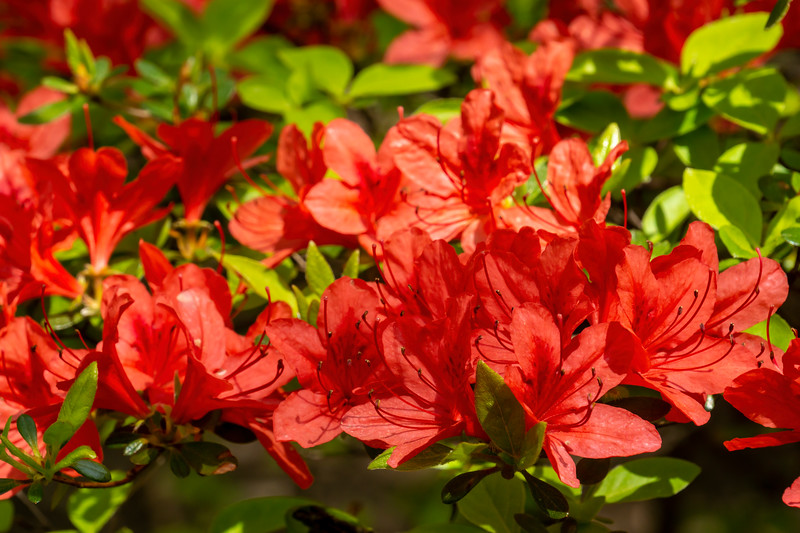 Rhododendron 'Spreading Red'