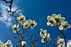 Magnoliaceae 06 16-2012<br /> Yulan Magnolia, Magnolia denudata<br /> <br /> Hidden Lake Gardens,<br /> March 22, 2012<br /> (nex-5)