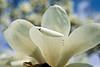 Magnoliaceae 06 21-2012<br /> Yulan Magnolia, Magnolia denudata<br /> <br /> Hidden Lake Gardens,<br /> March 22, 2012<br /> (nex-5)